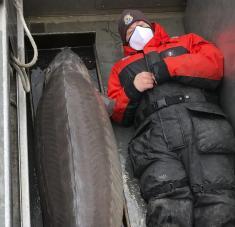 Los especialistas del Servicio de Pesca y Vida Silvestre de EE.UU. realizaron la captura y tras tomar unas fotos al espécimen, lo etiquetaron con un chip y lo soltaron de vuelta al agua. Foto: U.S. Fish and Wildlife Service / AP