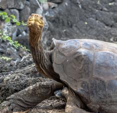 El ejemplar fue mantenido en cautiverio durante décadas y ayudó a multiplicar la población endémica de 15 a 2.300 especímenes. Foto: Flickr/ John Quine / CC BY-NC-SA 2.0