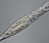 Una de las conclusiones que los investigadores han sacado con esto es que un animal multicelular puede congelarse y almacenarse tal cual durante miles de años, para luego ser resucitado. Foto: Xataka